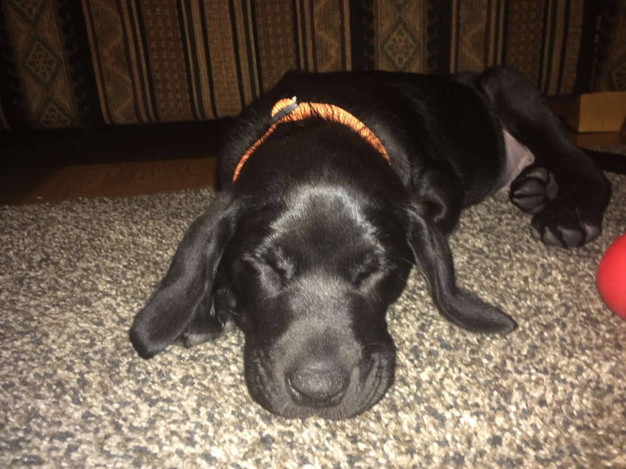 Axel at his new home (Orange Collar Black Male)