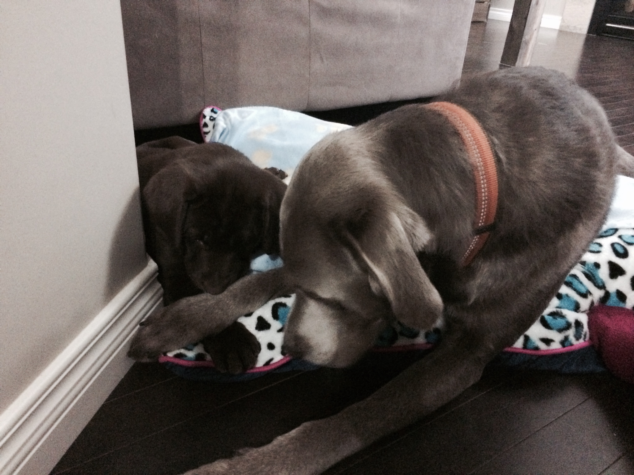 Daphne at her new home with her big brother Duke