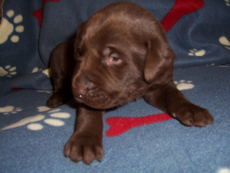 Blue Collar Male 3 Weeks Old