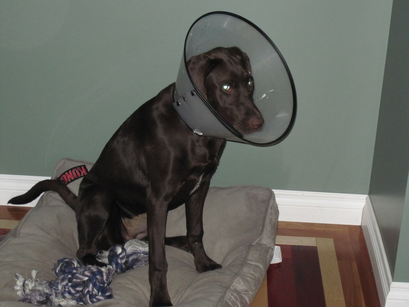 Myka after her spay