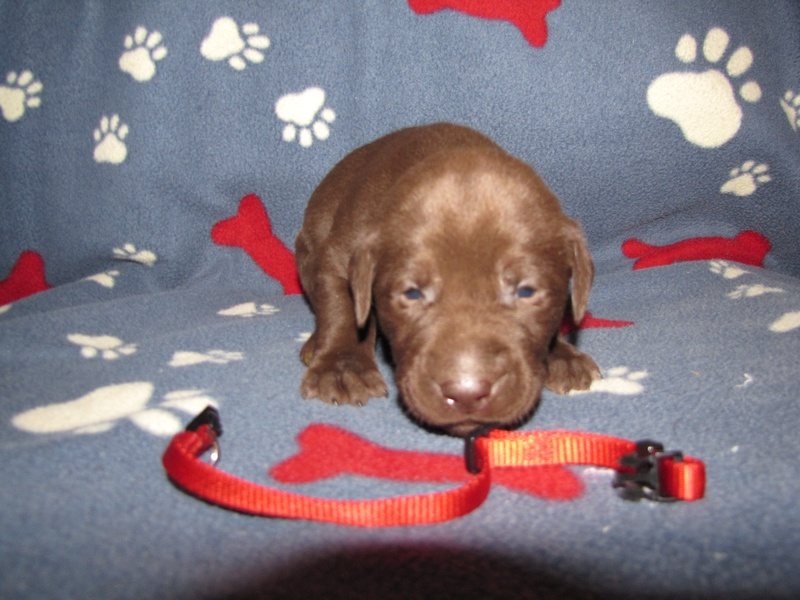 3 Weeks Old - Red Collar Male