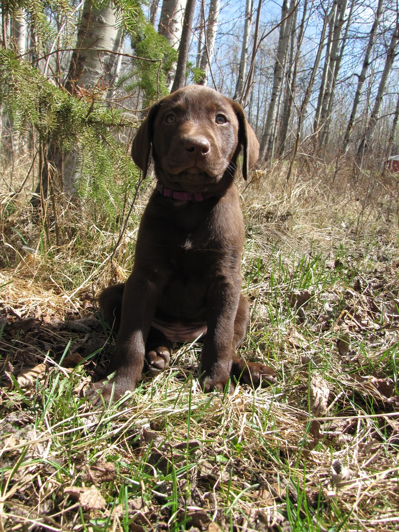 "7 Weeks Old - Purple Collar Female ""Carter"""