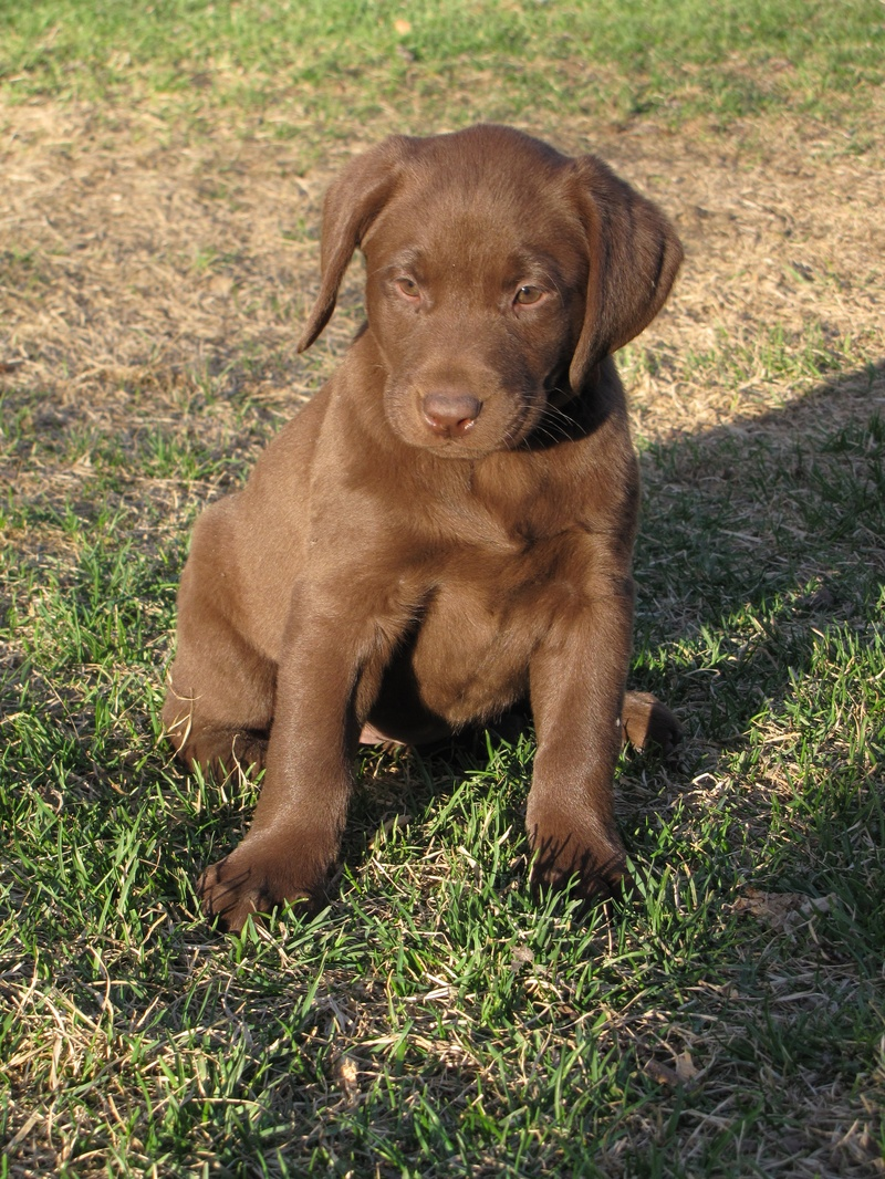 "7 Weeks Old - Orange Collar Female ""Cadbury"""