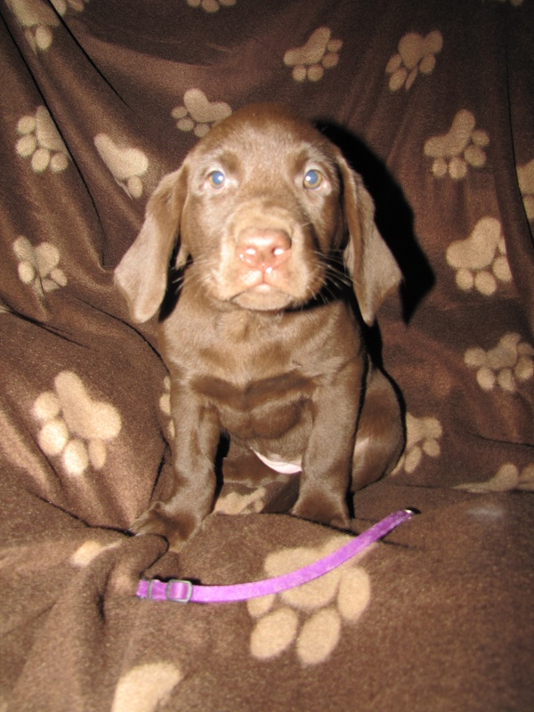 """Tia Maria"" Purple Collar Female - 7 Weeks Old"
