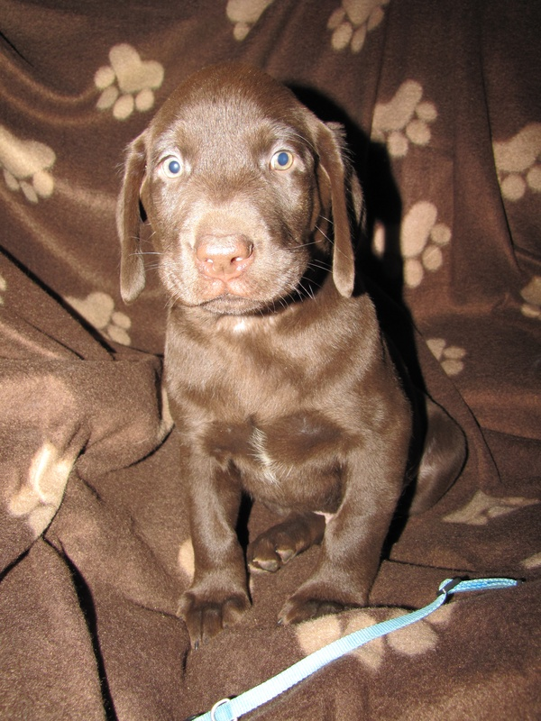 """Charlie"" Blue Collar Male - 7 Weeks Old"