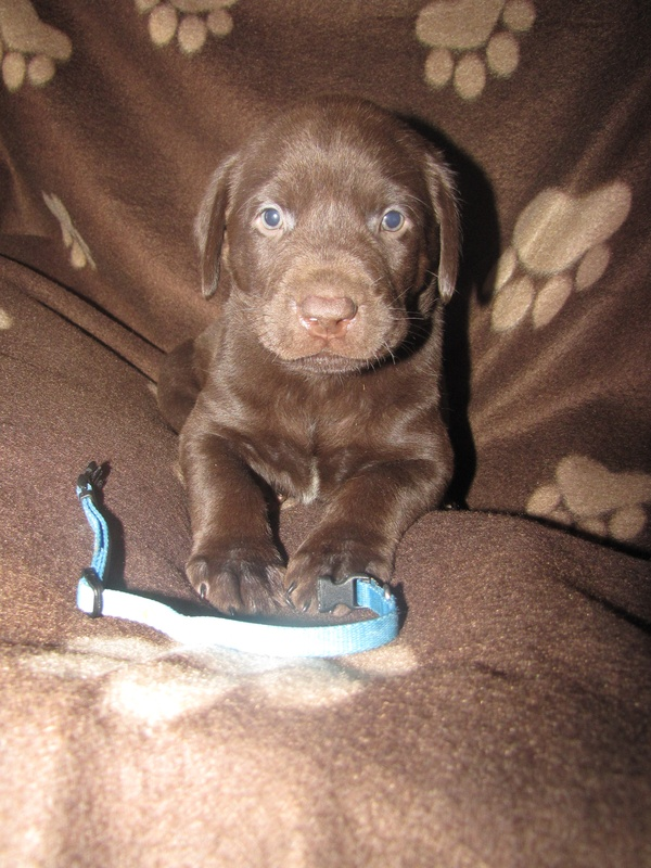 Blue Collar Male - 5 Weeks Old