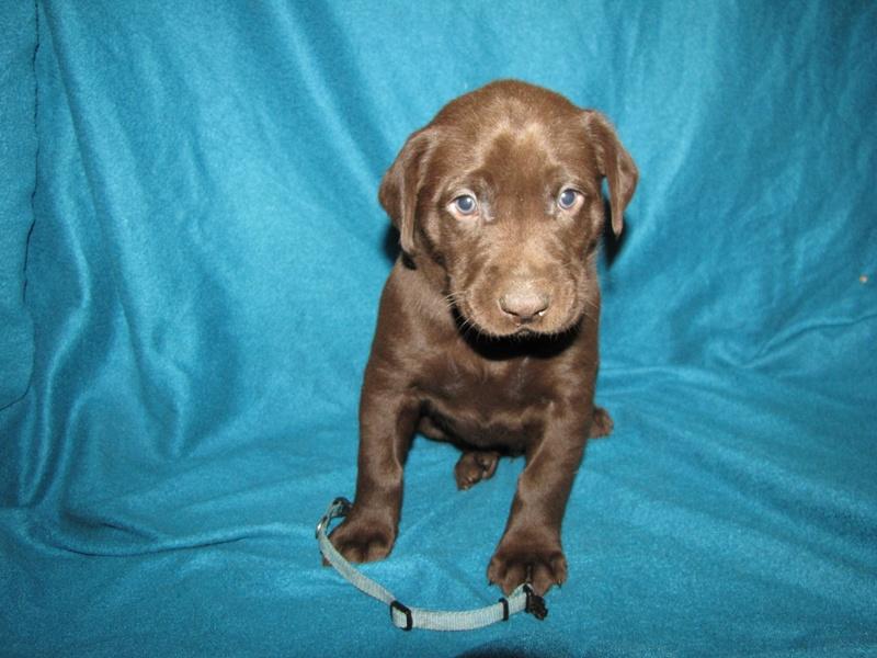 "5 Weeks Old - Blue Collar Male ""Gunner"""