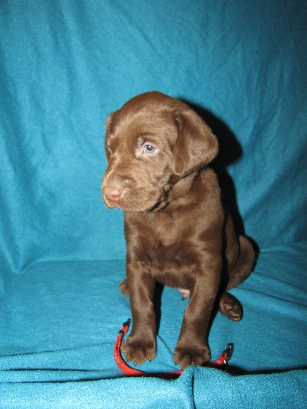 """5 Weeks Old - Red Collar Male """"Hatch"""""""