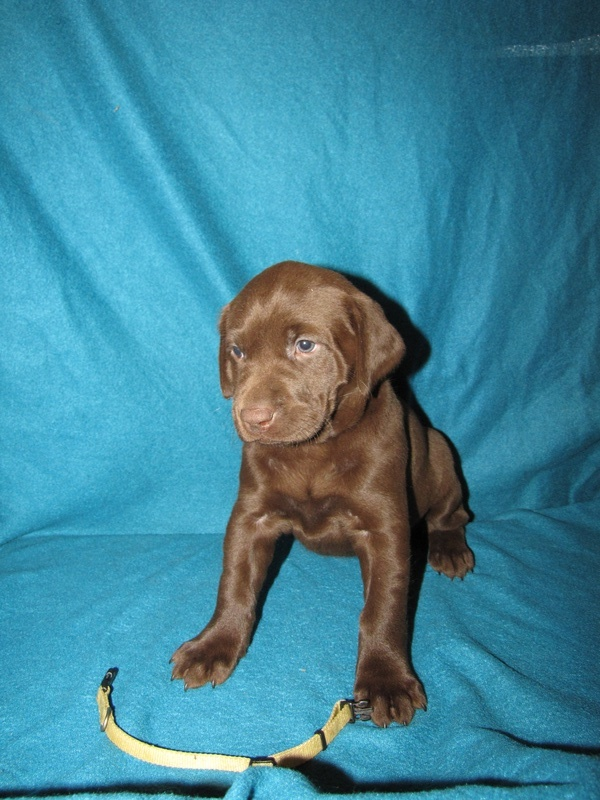 "5 Weeks Old - Yellow Collar Female ""Willow"""