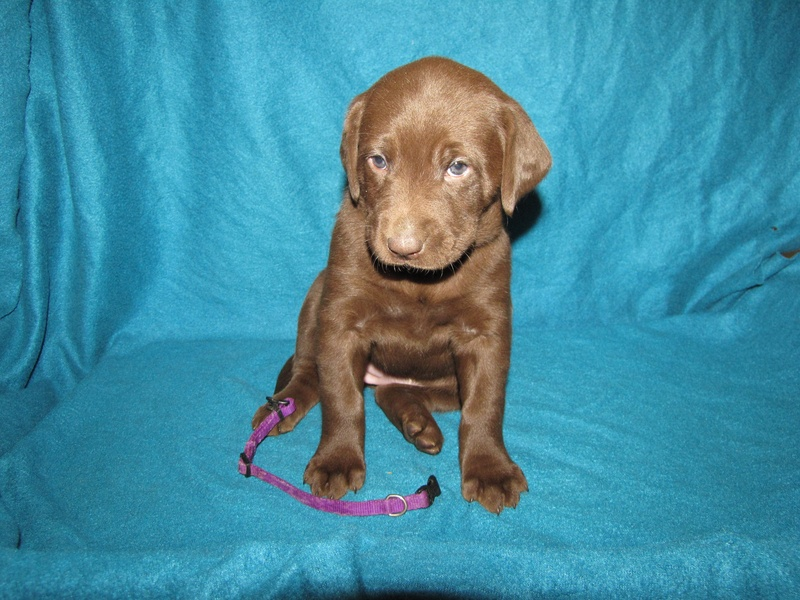 "5 Weeks Old - Purple Collar Female ""Daphne"""
