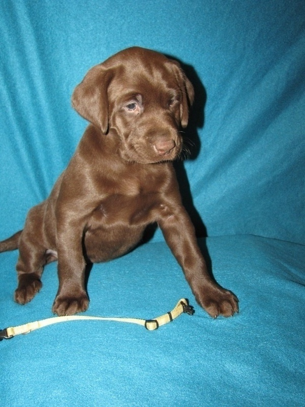 """6 Weeks Old - Yellow Collar Female """"Willow"""""""