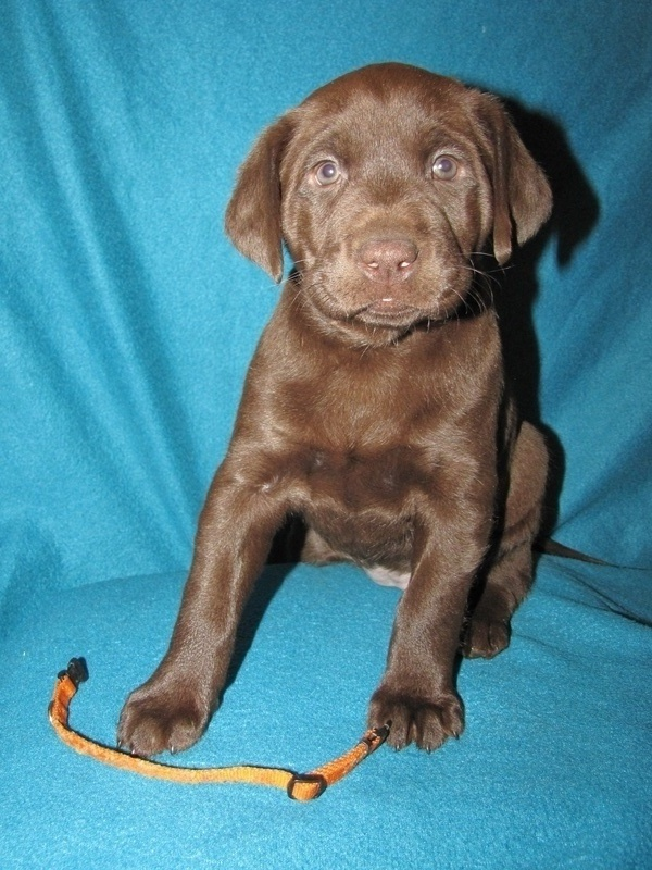 "6 Weeks Old - Orange Collar Female ""Scout"""