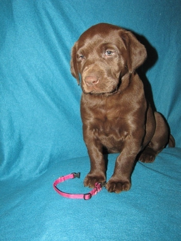 "6 Weeks Old - Pink Collare Female ""Coco"""