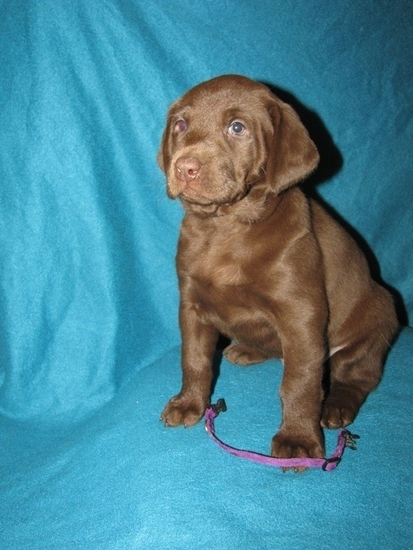 "6 Weeks Old - Purple Collar Female ""Daphne"""