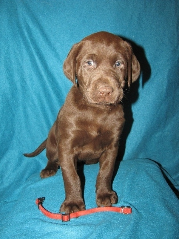 """6 Weeks Old - Red Collar Male """"Hatch"""""""