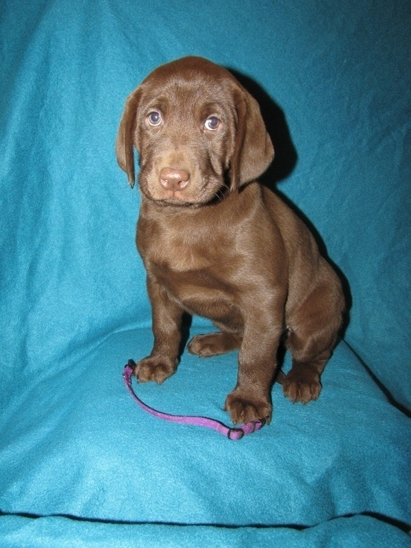 "7 Weeks Old - Purple Collar Female ""Daphne"""