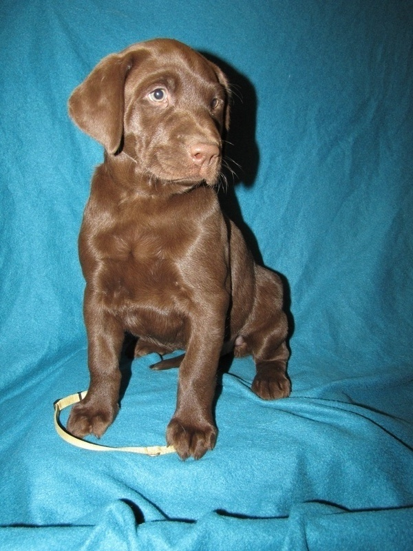 """7 Weeks Old - Yellow Collar Female """"Willow"""""""
