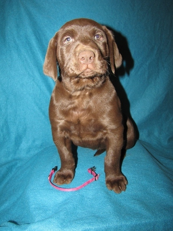 "7 Weeks Old - Pink Collar Female ""Coco"""