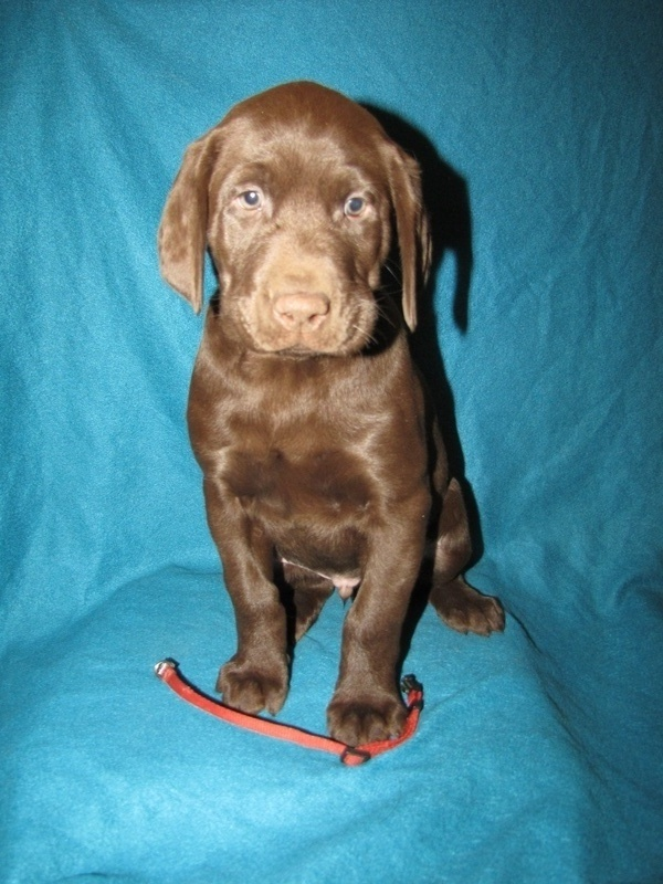 "7 Weeks Old - Red Collar Male ""Hatch"""