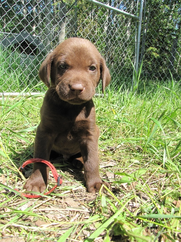 "5 Weeks Old - Red Collar Male ""Nitro"""