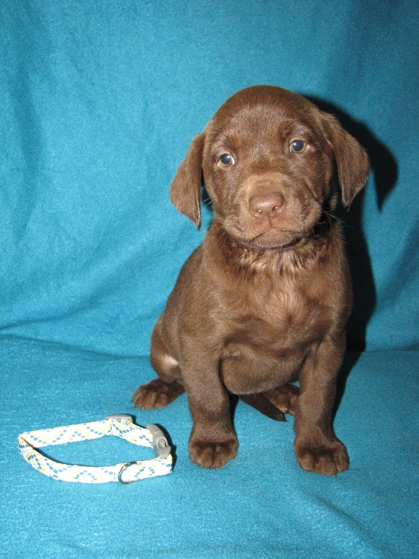 "6 Weeks Old - Yellow Collar Female ""Grace"""