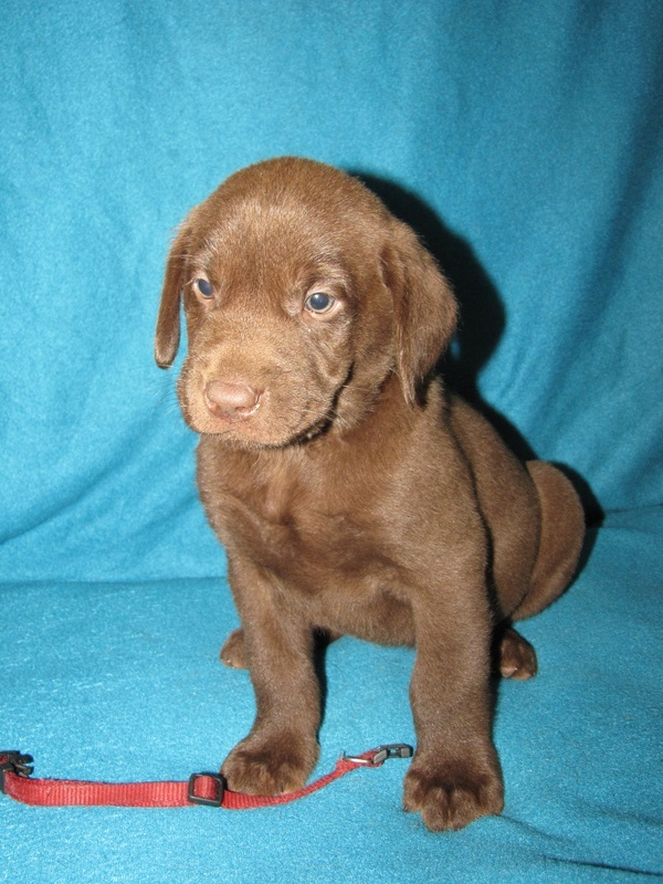 """6 Weeks Old - Red Collar Male """"Nitro"""""""