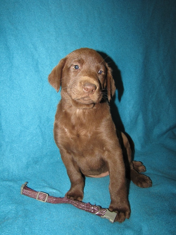 "7 Weeks Old - Purple Stripe Collar Female ""Keeva"""
