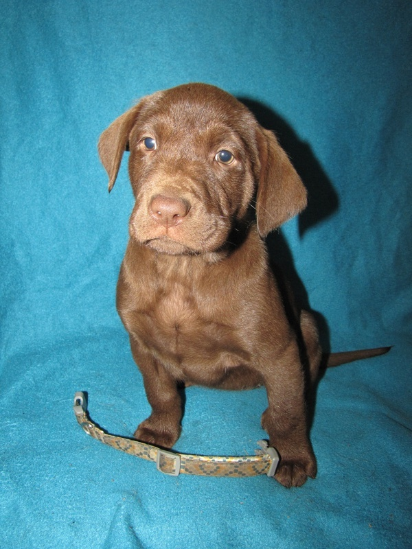 "7 Weeks Old - Yellow Collar Female ""Grace"""