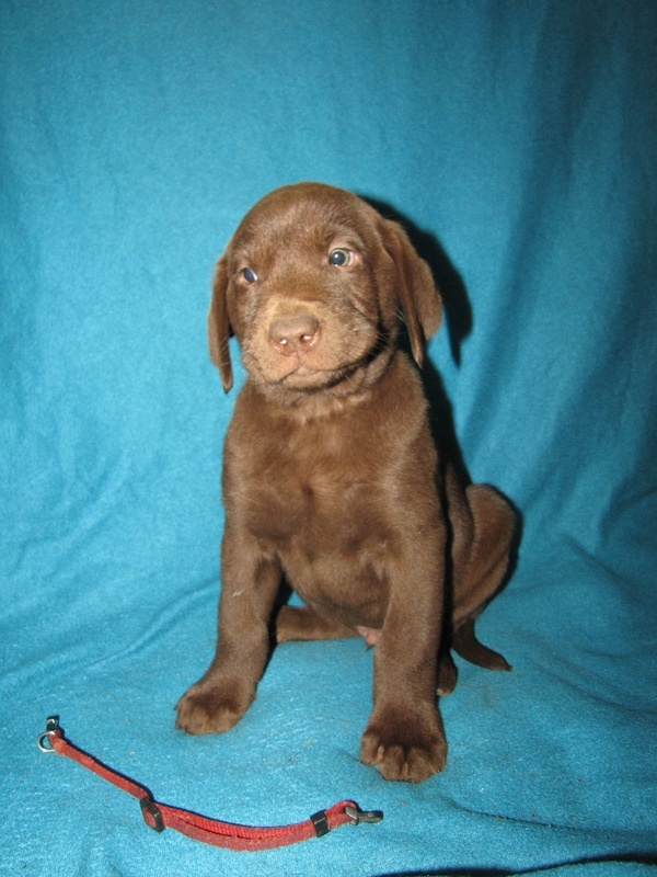 "7 Weeks Old - Red Collar Male ""Nitro"""