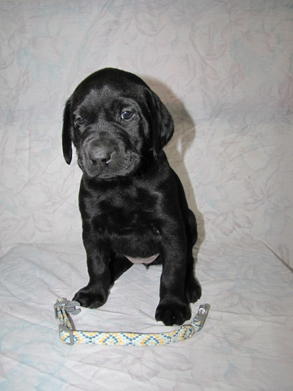 5 Weeks Old - Yellow Spots Collar Female