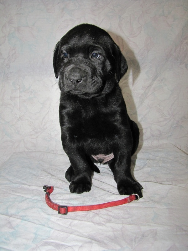5 Weeks Old - Red Collar Male