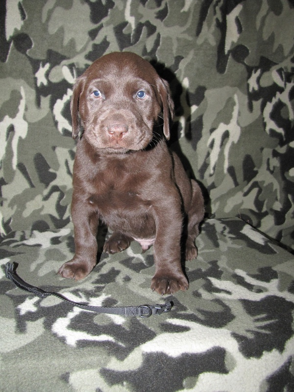 "5 Weeks Old - Black Collar Male ""Riley"""
