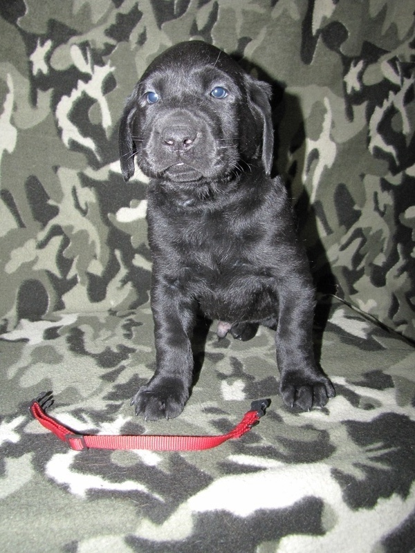 "5 Weeks Old - Red Collar Male ""Merle"""