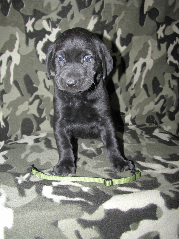 "5 Weeks Old - Green Collar Female ""Trixie"""