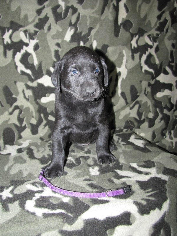 "5 Weeks Old - Purple Collar Female ""Molli"""