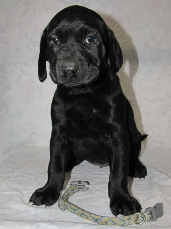 "6 Weeks Old - Yellow Spots Collar Female ""Harley"""