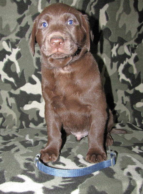 """6 Weeks Old - Blue Collar Male """"Atticus"""""""