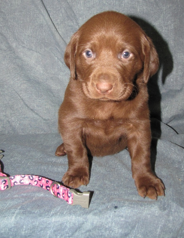 4 Weeks Old - Pink Camo Collar Female