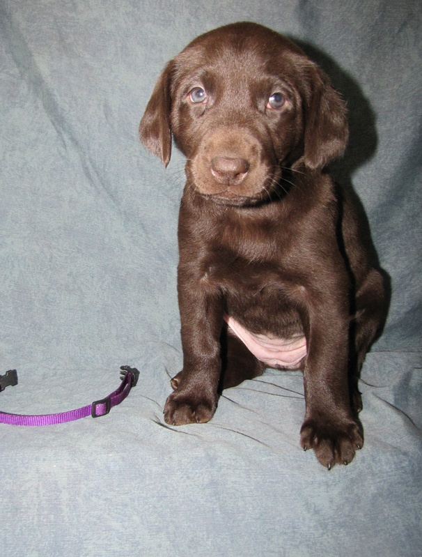 5 Weeks Old - Purple Collar Female