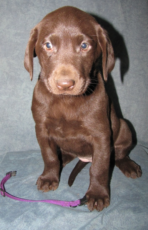 "6 Weeks Old - Purple Collar Female ""Hershee"""