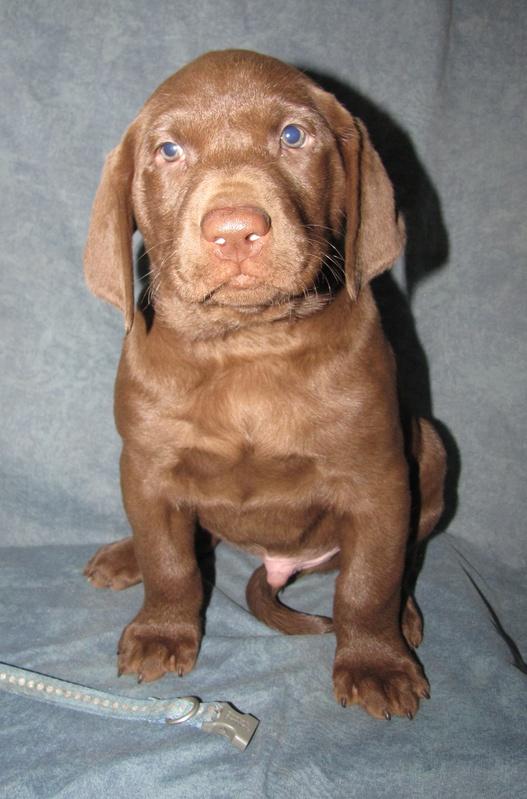 """6 Weeks Old - Blue Spots Collar Male """"Jasper"""""""