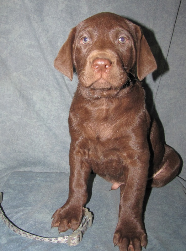 """6 Weeks Old - Blue Camo Collar Male """"Pogo"""""""