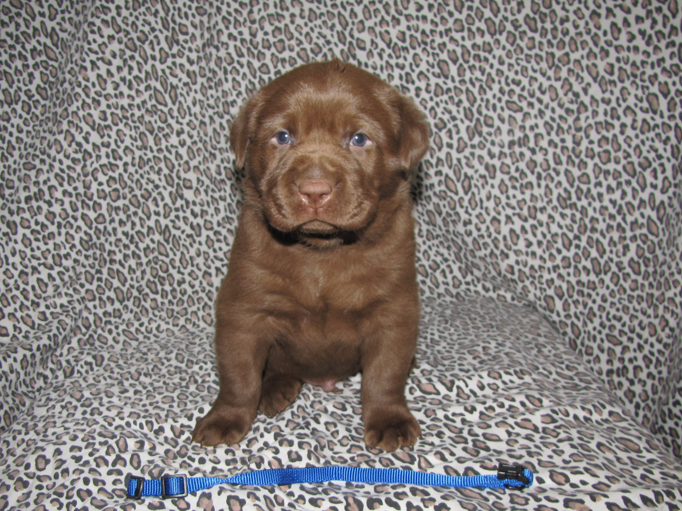 4 Weeks old - Blue Collar Male