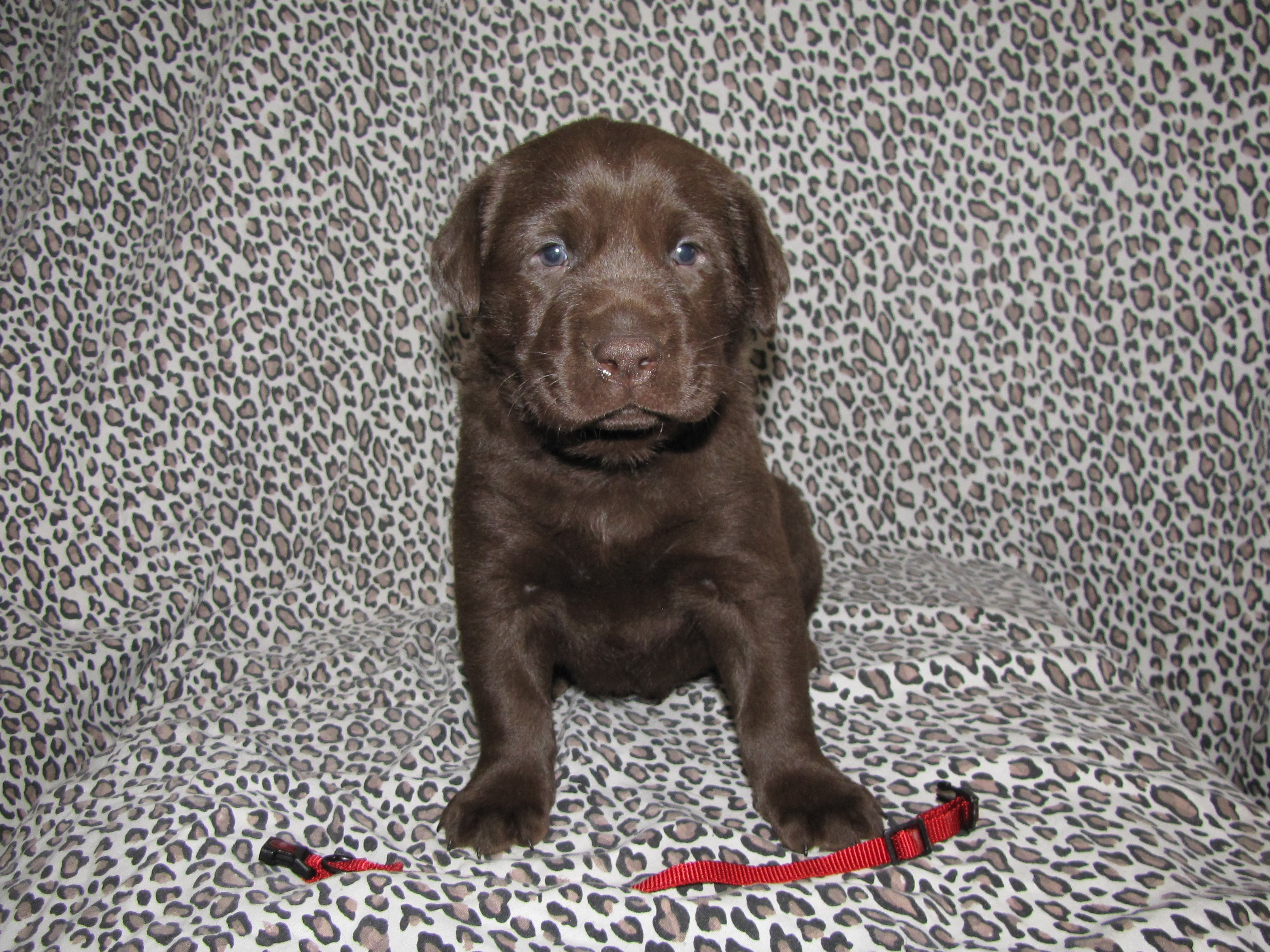 4 Weeks Old - Red Collar Male