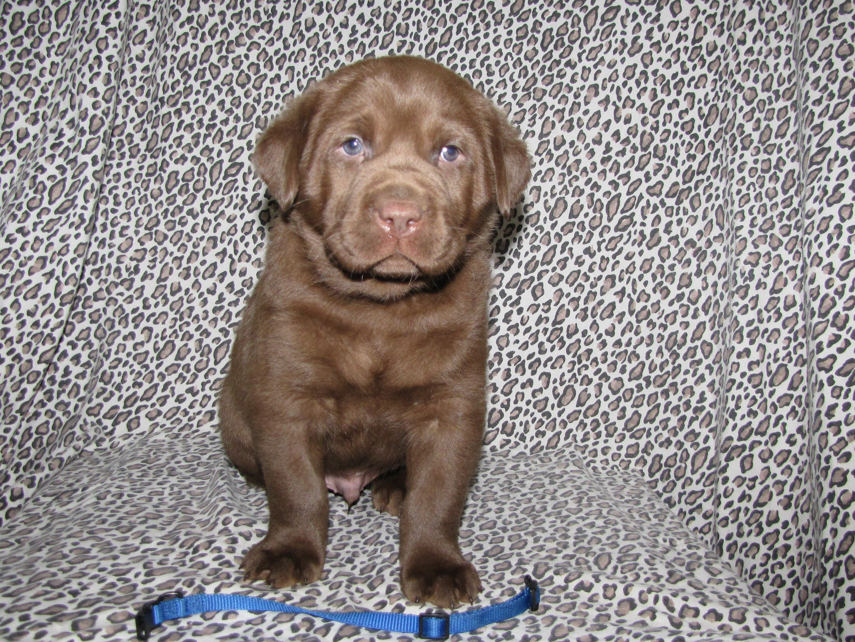 5 Weeks Old - Blue Collar Male