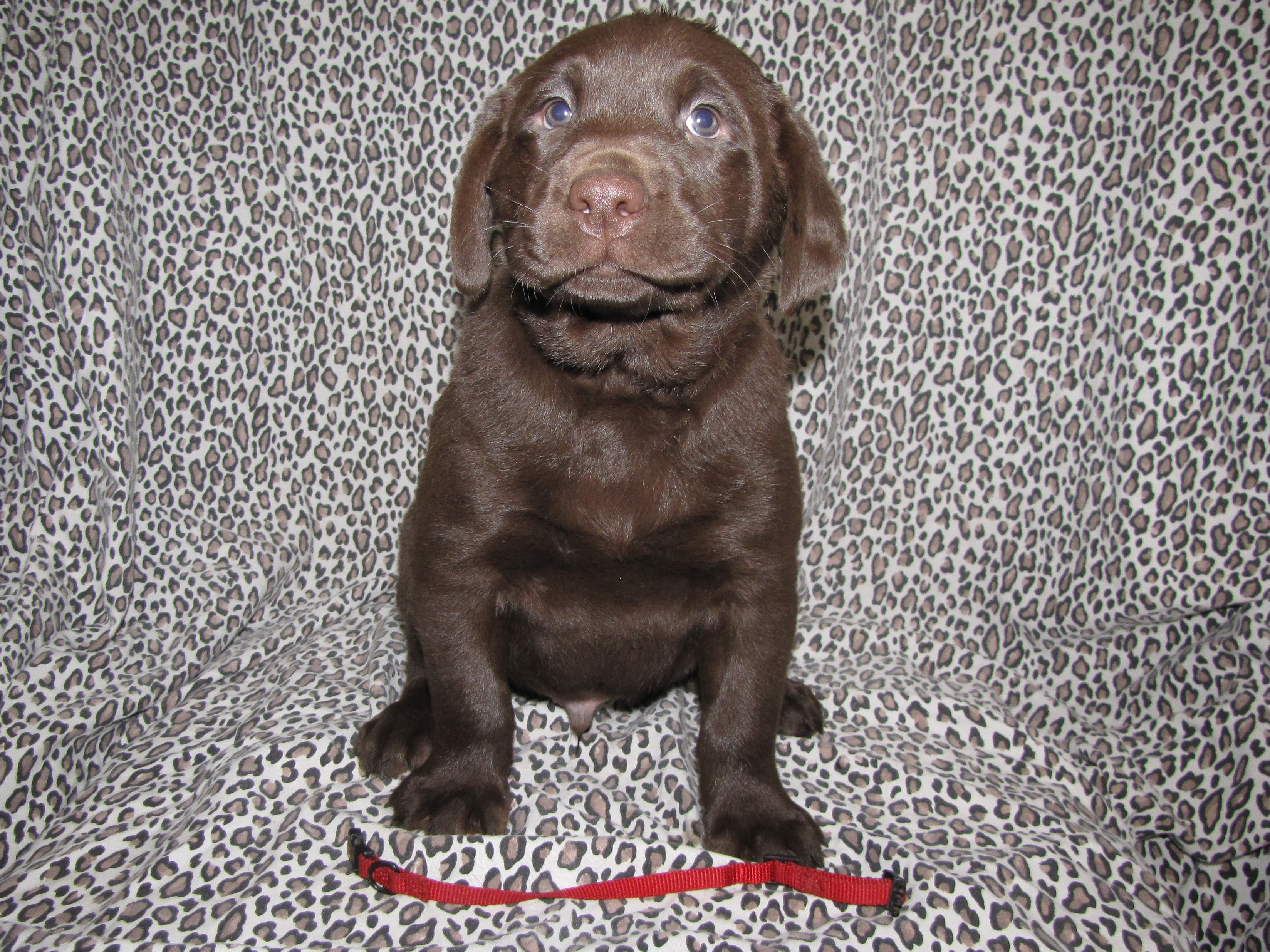"6 Weeks Old - Red Collar Male ""Chester"""