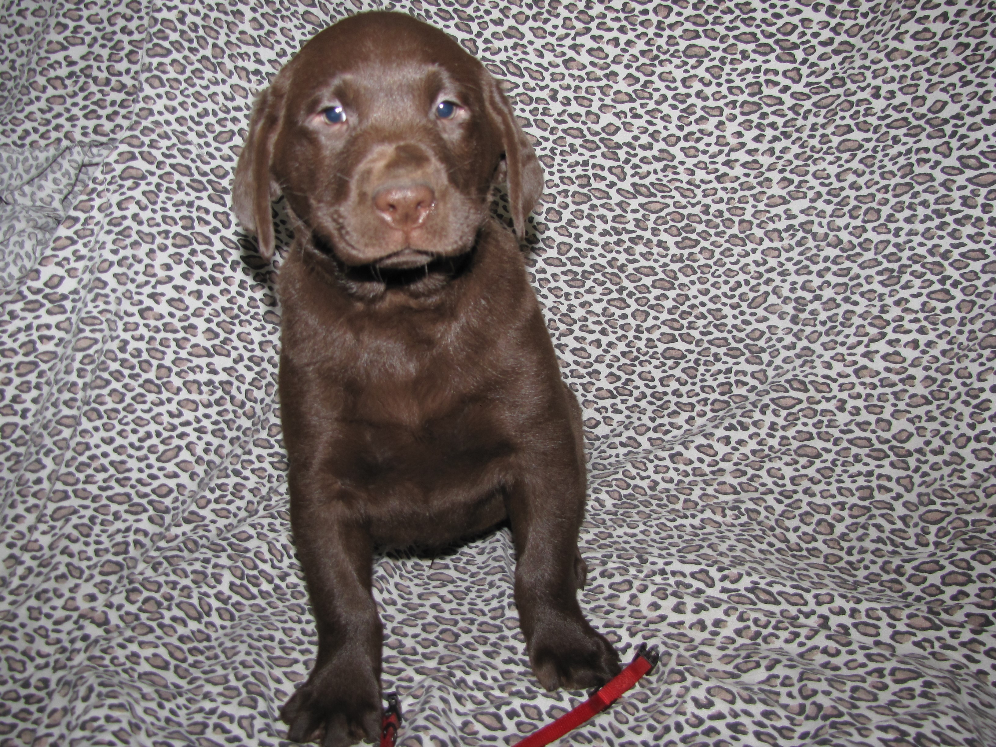 "7 Weeks Old - Red Collar Male ""Chester"""