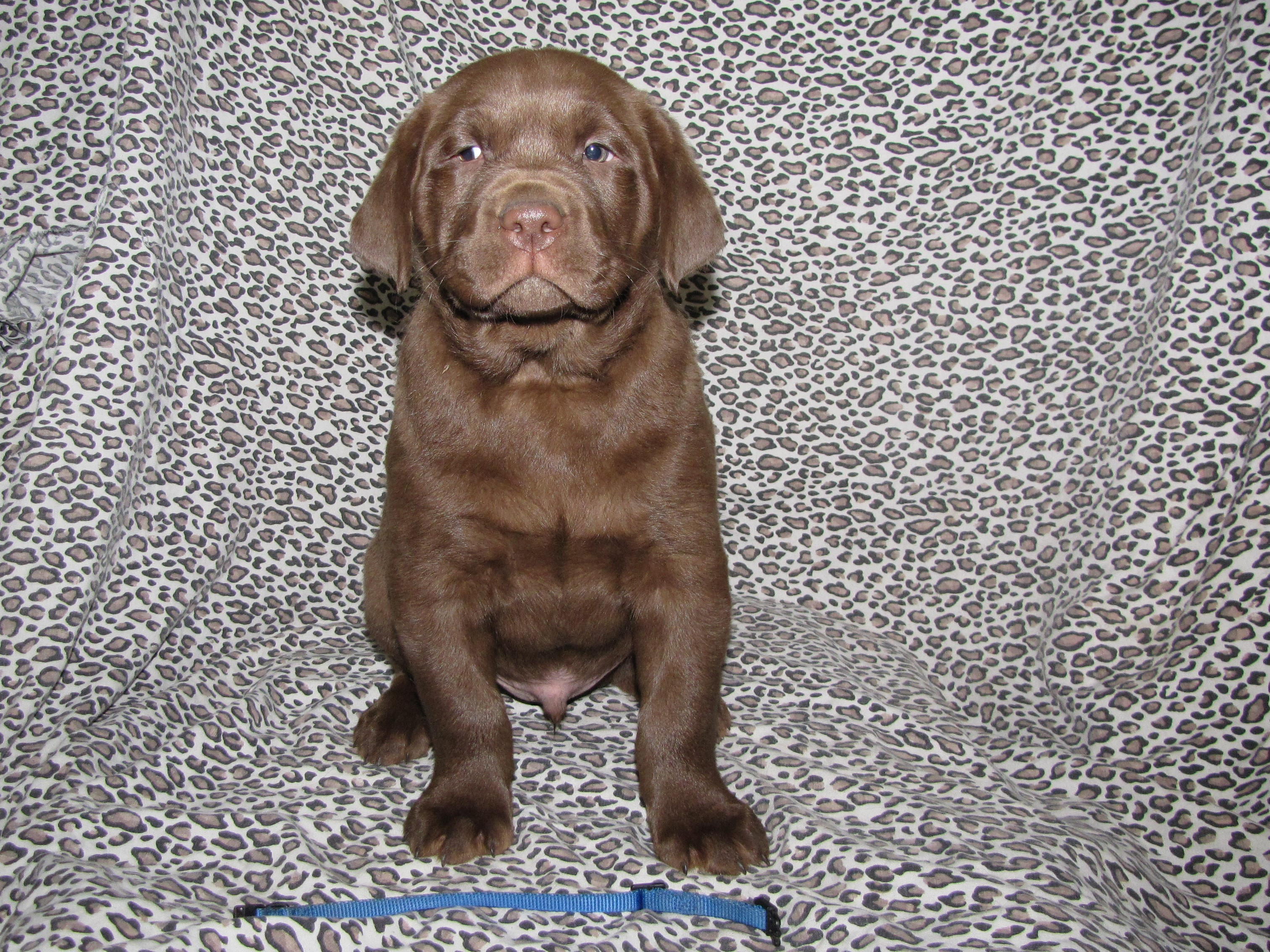 "7 Weeks Old - Blue Collar Male ""Bernard"""