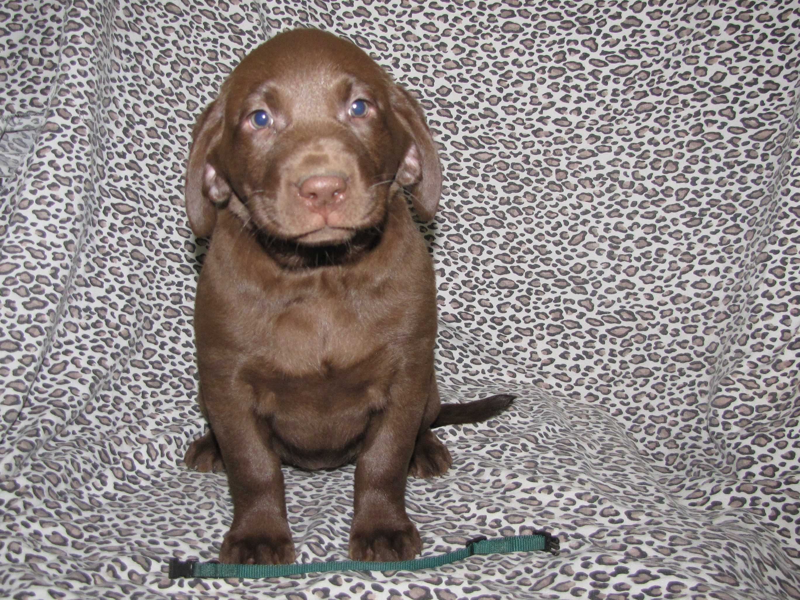 "7 Weeks Old - Green Collar Female ""Lily"""