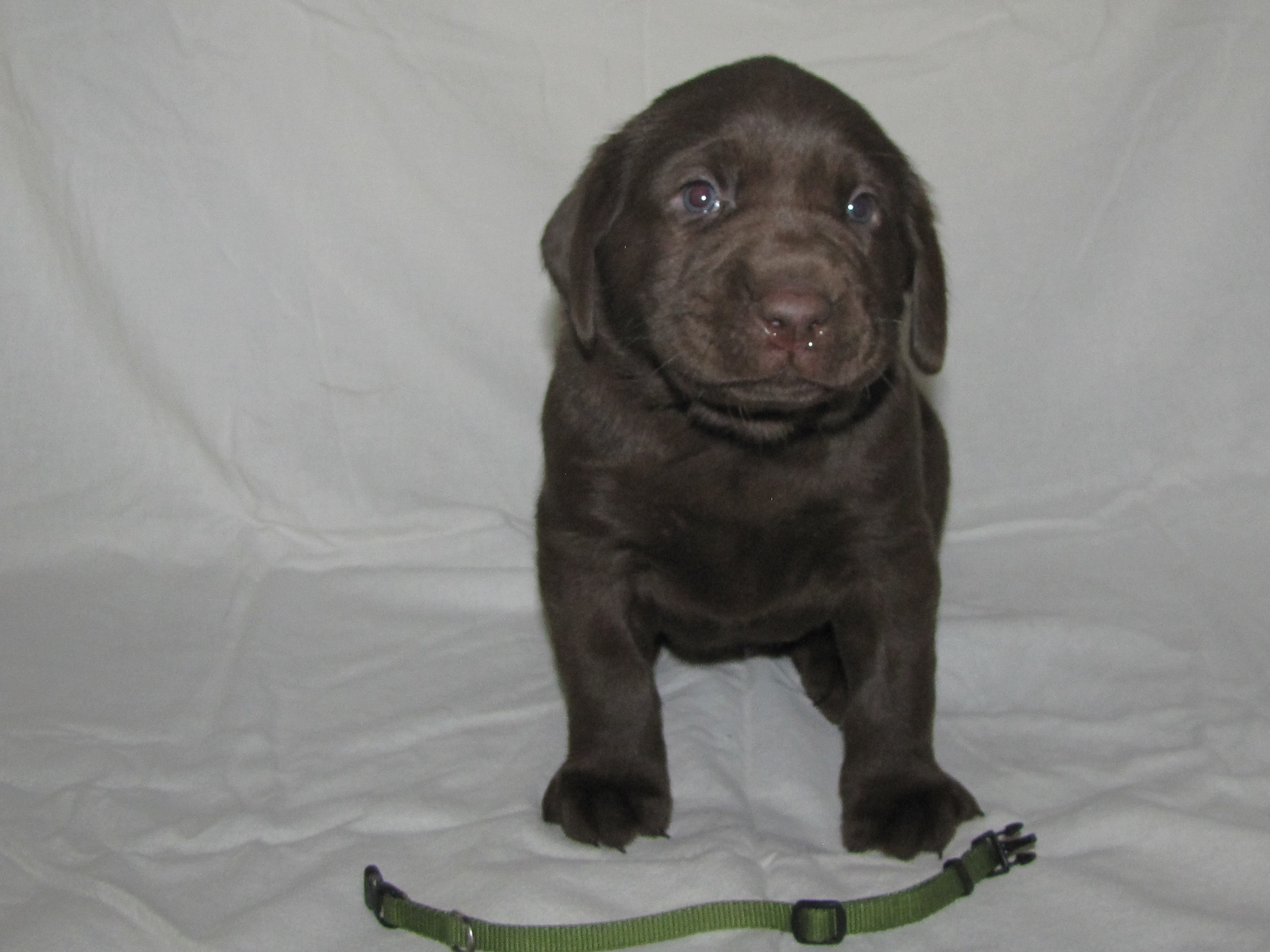 """4 Weeks Old - Green Collar Female """"Willow"""""""